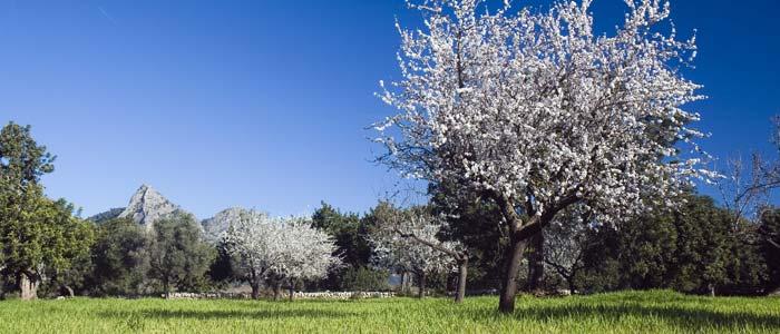 Trees in bloom, Ibiza