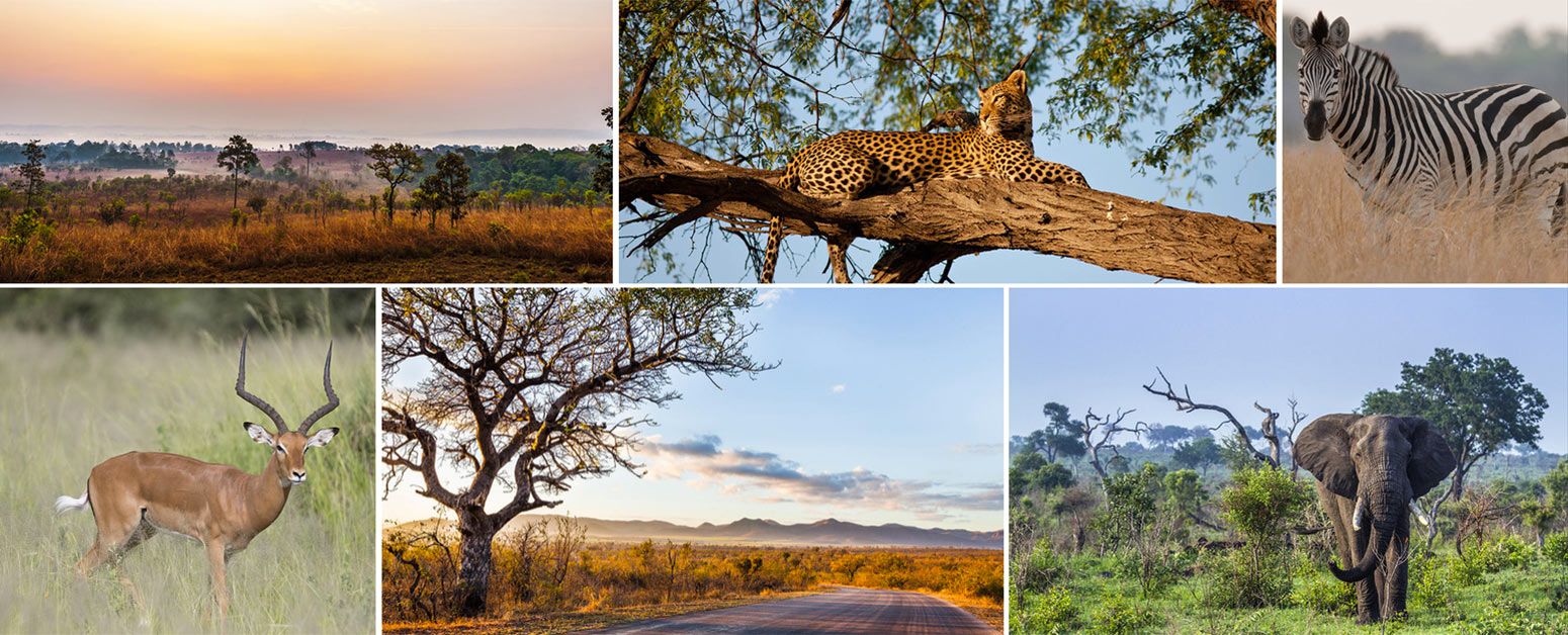 Elephant, jaguar and zebra in the Kruger Park South Africa