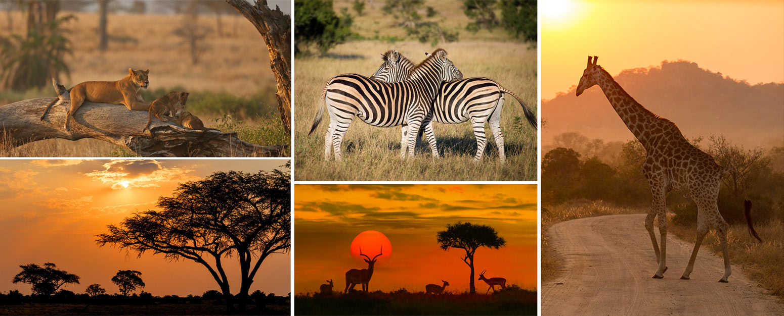 A collage of wild animals including lions, giraffe and zebras at sunset in the Kruger Park in south Africa